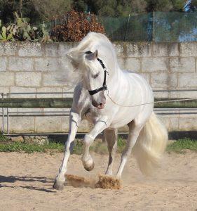 Andalusian & P.R.E. horses